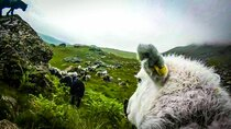 BBC Documentaries - Episode 73 - The Great Mountain Sheep Gather