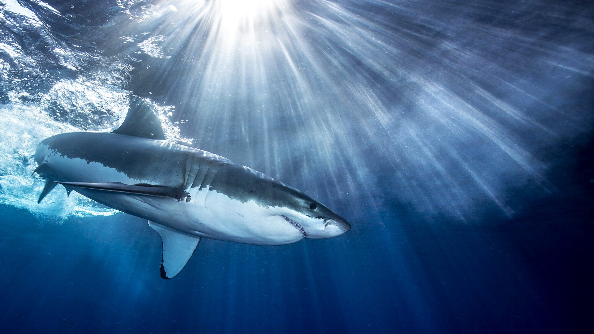 shark culling The first great white shark caught in a shark net has been released successfully the 10-foot ballina mp tamara smith disagrees with shark cull smith, a member of the new south wales.
