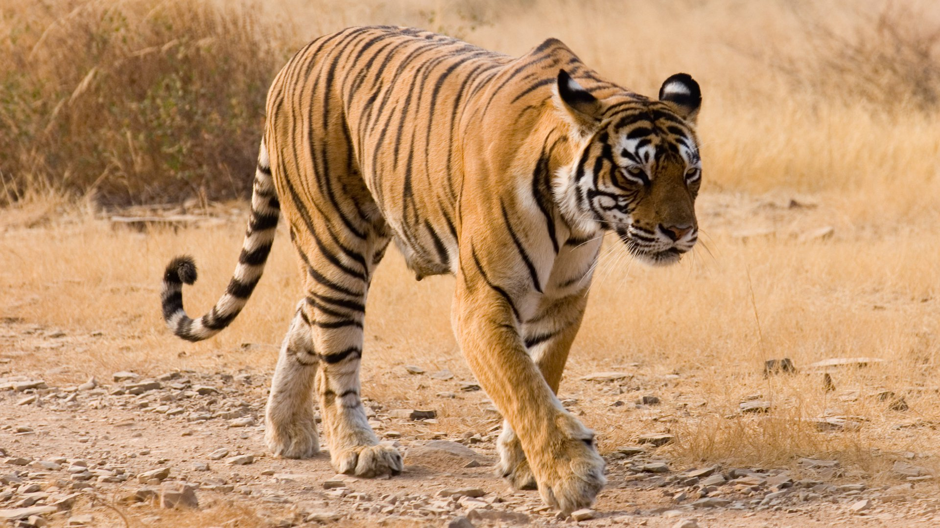 why are tigers disapperaing Info page on white tigers - their habitat with information and white tiger pictures.