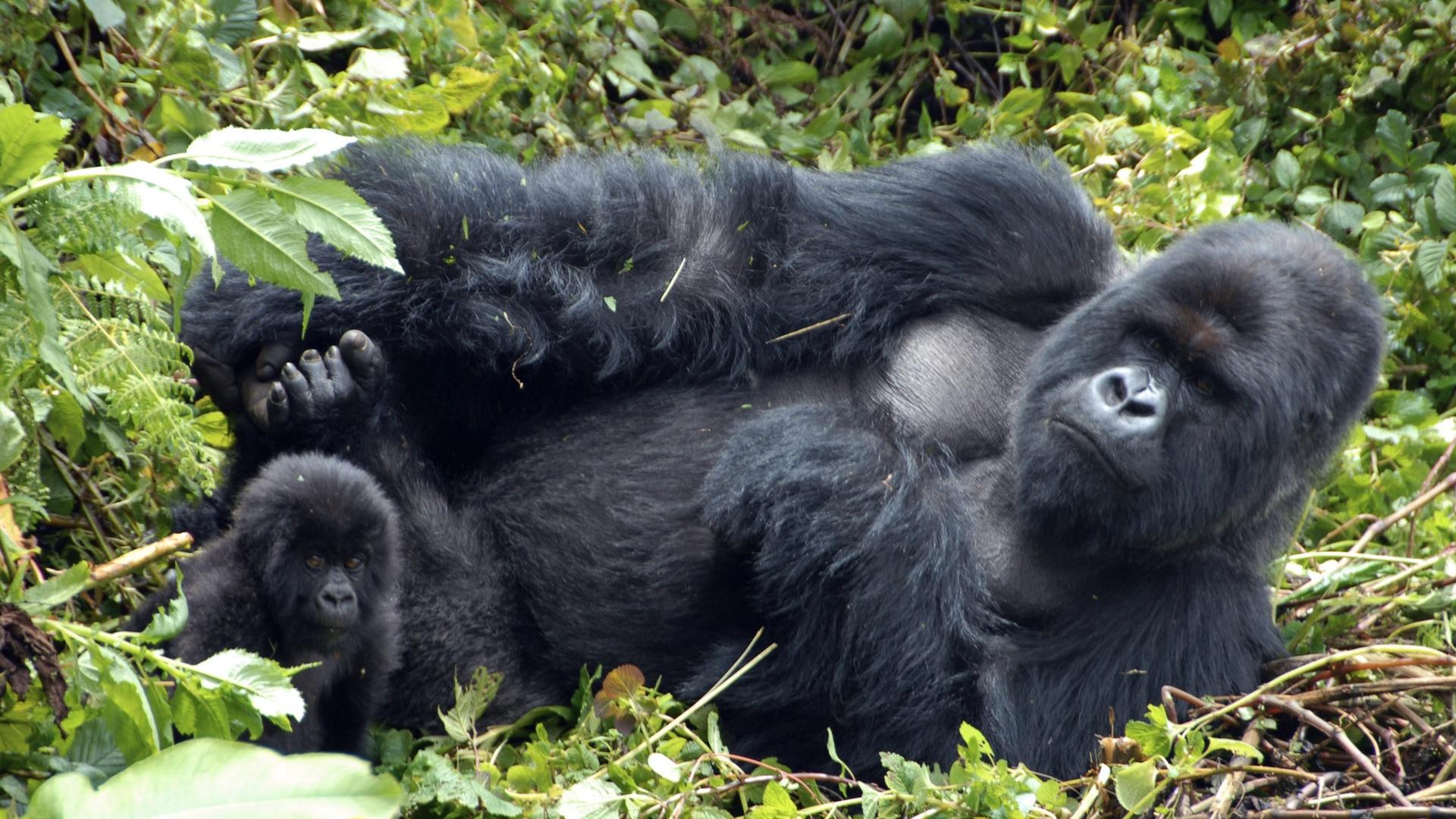gorilla research paper