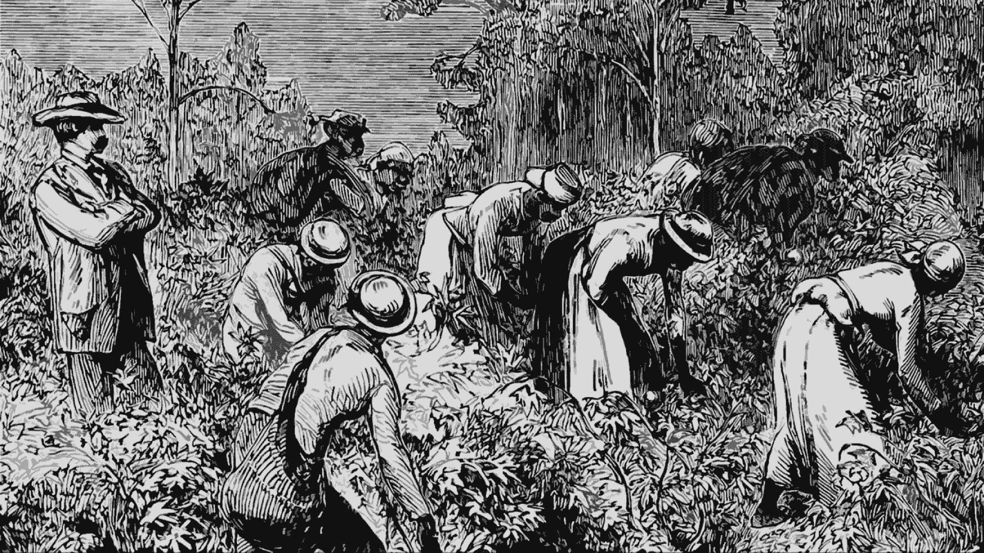 Картинки негры на плантациях